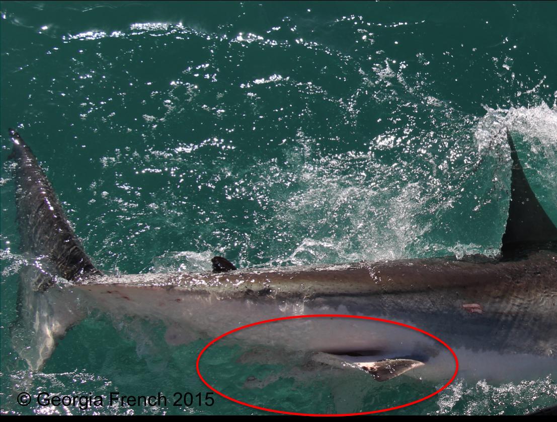 How I Individually Identify White Sharks