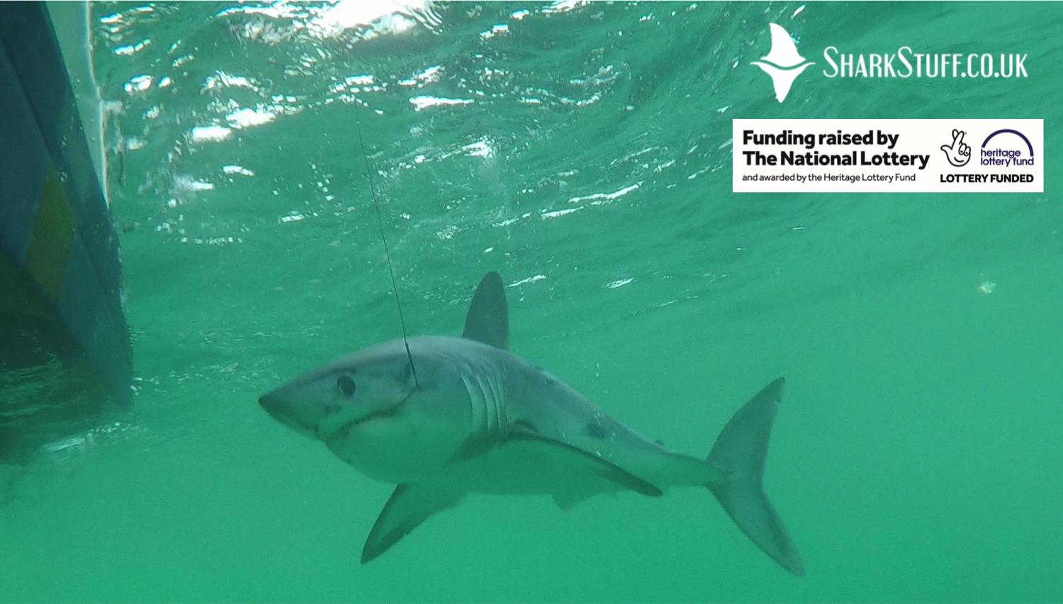 What is a Porbeagle?