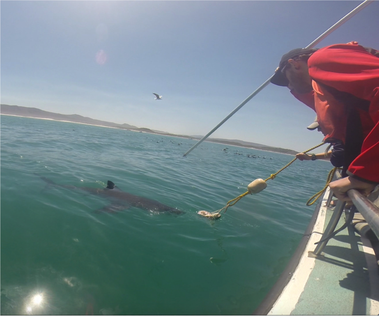 Taking Tiny Pieces of the Great White Shark
