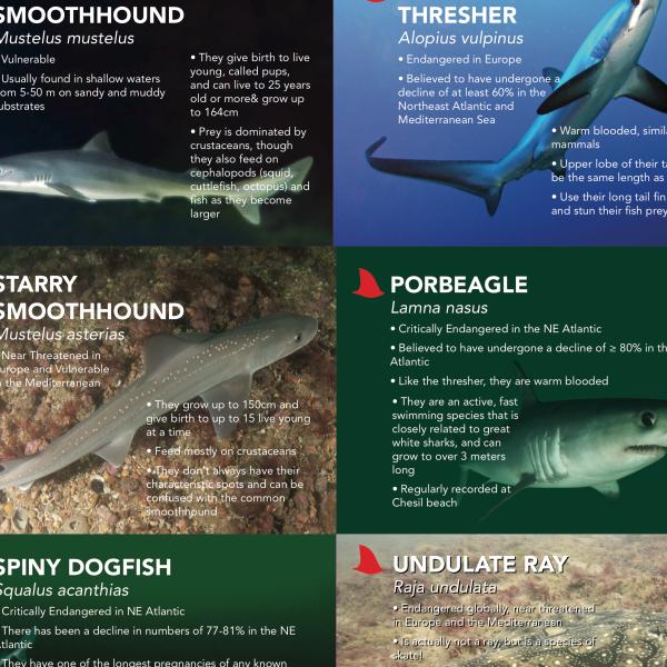 Dorset Dorsals – SharkStuff Education Project!